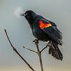 12  G Red Winged Black Bird Breath V
