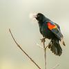 16  G Red Winged Black Bird Breath V
