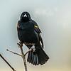 11  G Red Winged Black Bird V