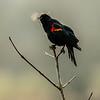 15  G Red Winged Black Bird Breath V