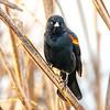 22  G Red Winged Black Bird V