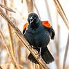 19  G Red Winged Black Bird V