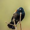 6  GRed Winged Black Bird
