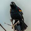 10  G Red Winged Black Bird V