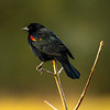 2  G Red Winged Black Bird