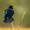 4  G Red Winged Black Bird