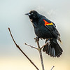 9  G Red Winged Black Bird V