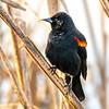 20  G Red Winged Black Bird