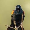 7  G Red Winged Black Bird