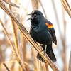 21  G Red Winged Black Bird V