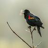 14  G Red Winged Black Bird Breath V