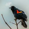 13  G Red Winged Black Bird Breath