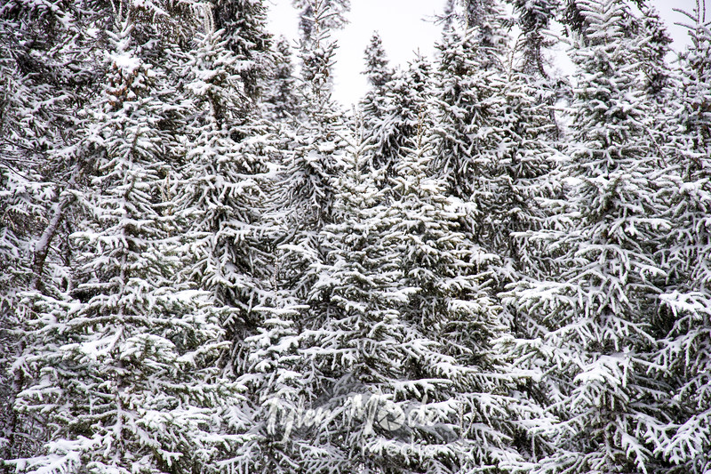 8  G Fir Trees and Snow