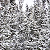 8  G Fir Trees and Snow
