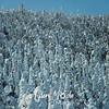30  G Snowy Trees