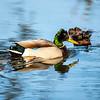14  G Duck