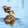 13  G Duck