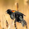 8  G Blackbird
