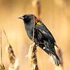 7  G Blackbird V