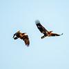 18  G Juvenille Eagles