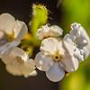 28  G White Flowers