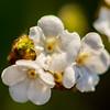 30  G White Flowers