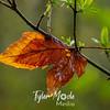 21  G Lewisville Leaf