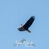 11  G Bald Eagle