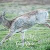 2  G Deer Running