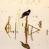 97  G Black Bird V