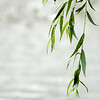 Zen leaves