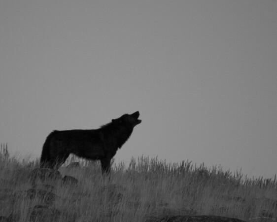 wolfhowlbw2