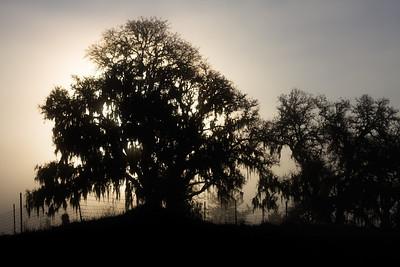 _MG_7001 tree fog silloette