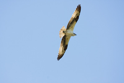 _MG_7354 osprey
