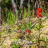 23  G Indian Paintbrush