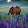 10  G Horse and Lupine