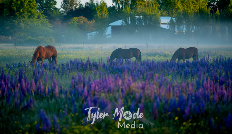 1  G Horses and Lupine