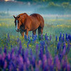 9  G Lupine and Horse