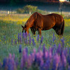 21  G Horse and Lupine