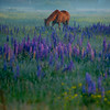 4  G Lupine and Horse V