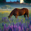 13  G Lupine and Horse