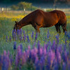 19  G Horse and Lupine