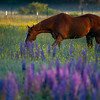20  G Horse and Lupine