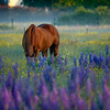 12  G Lupine and Horse