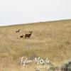 2  G Deer Near Pasco