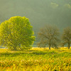 10  G Spring Trees