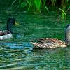8  G Ducks