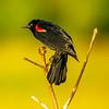 4  G Red Winged Black Bird V