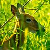20  G Deer Eating