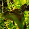 17  G Deer Eating